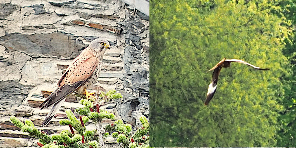 Vogelbeobachtung: Turmfalke und Rotmilan sind wachsam ...